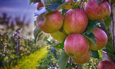 Apple Picking near St. Louis 2017